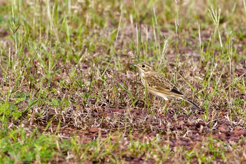 Paddyfield Pipit Camouflaged