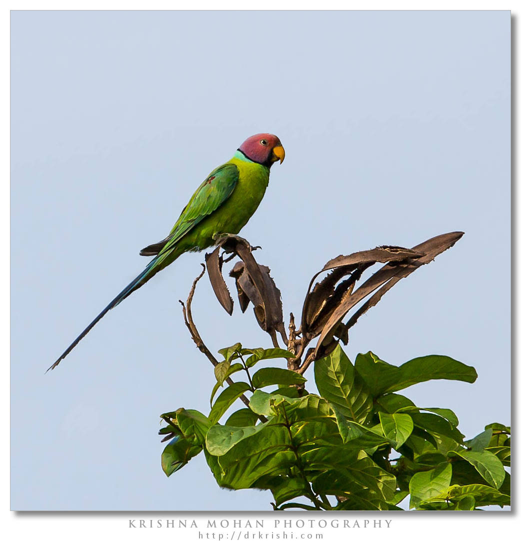 Male Plum-headed Parakeet