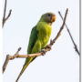 Juvenile Plum-headed Parakeet