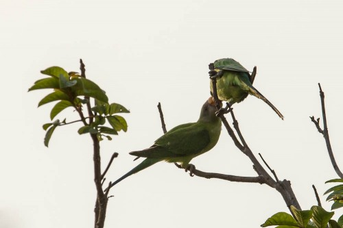 Juvenile Plum-headed Parakeet getting feed from Male Parakeet