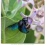 Carpenter Bee - Xylocopa latipes