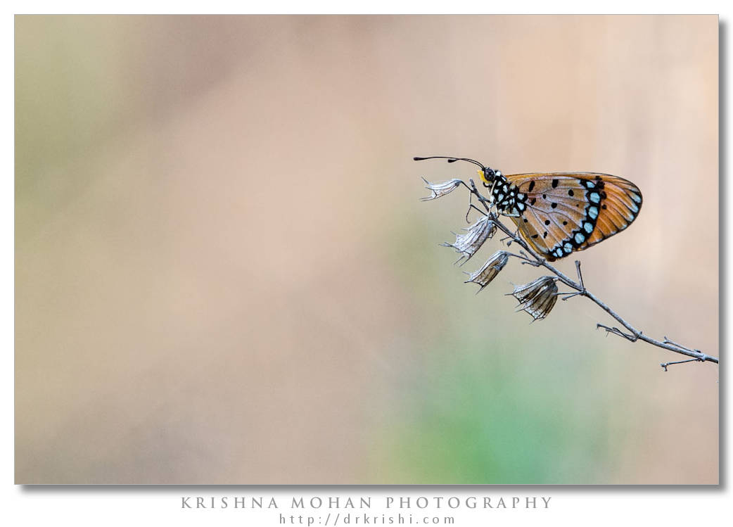 Composing A Tawny Coster – Krishna Mohan Photography