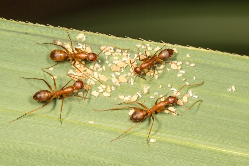 Camponotus Ants Tending Aphids
