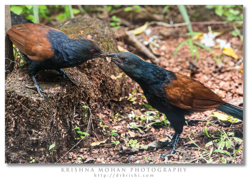 Greater Coucal feeding Subadult