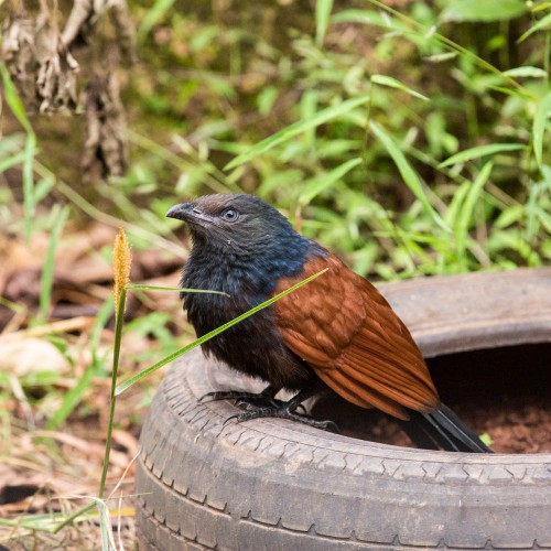 Subadult Greater Coucal