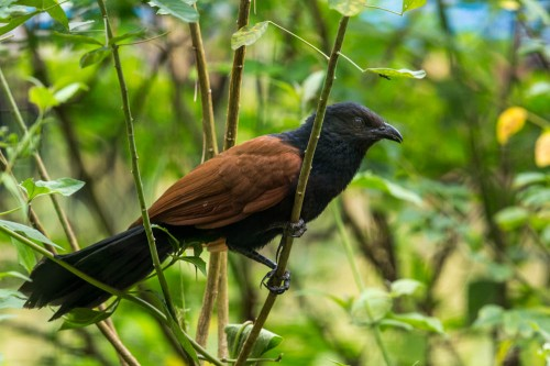 Nictitating Membrane of the Subadult Greater Coucal
