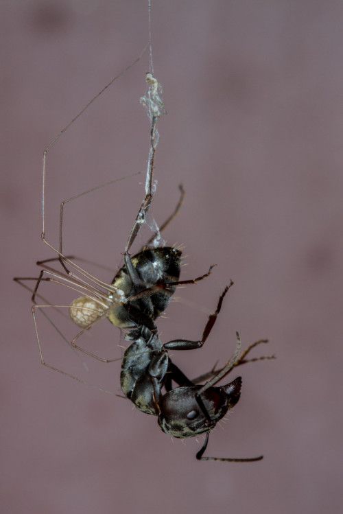 Golden Backed Ant Trapped by Cellar Spider