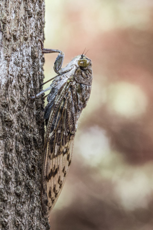 Dundubia species Cicada