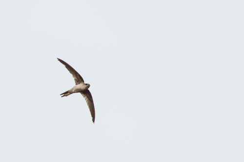 Asian Palm Swift