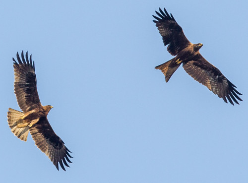 Flying Fighters - Black Kite and Booted Eagle