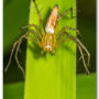 Lynx Spider, Oxyopes species