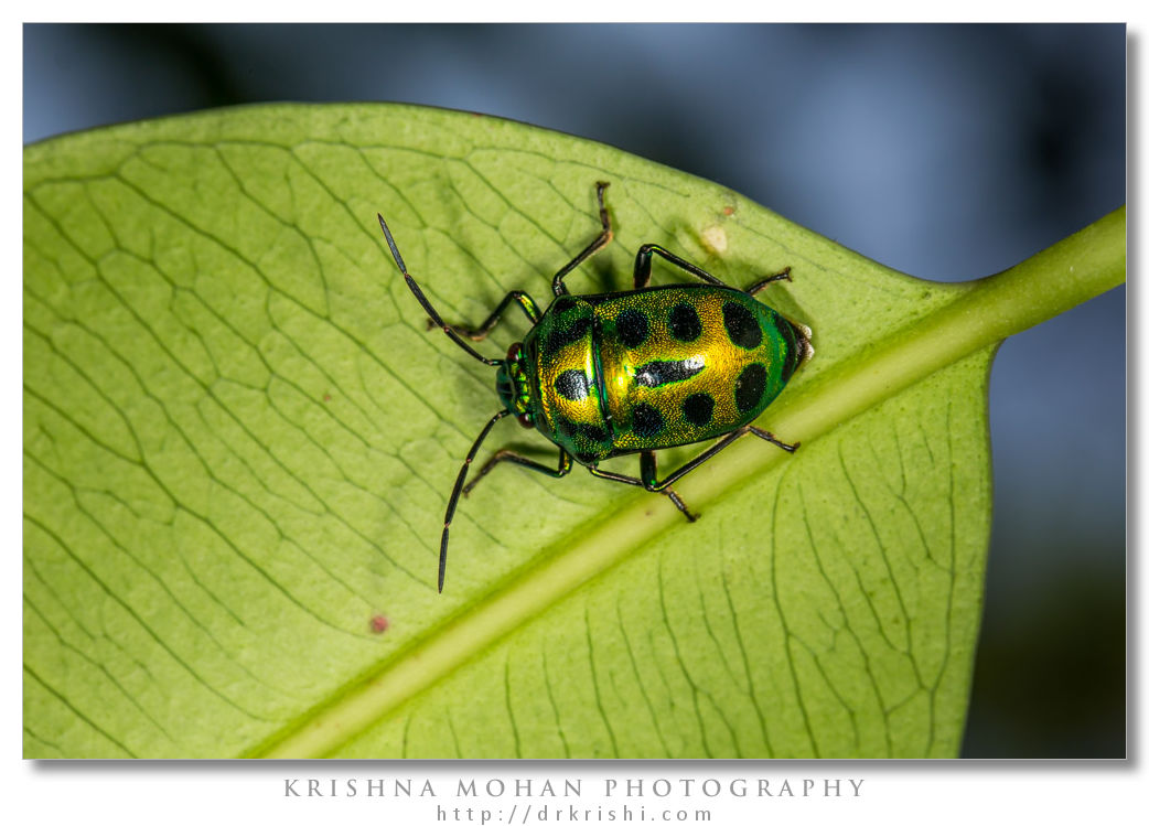 Green Jewel Bug - Chrysocoris sp.