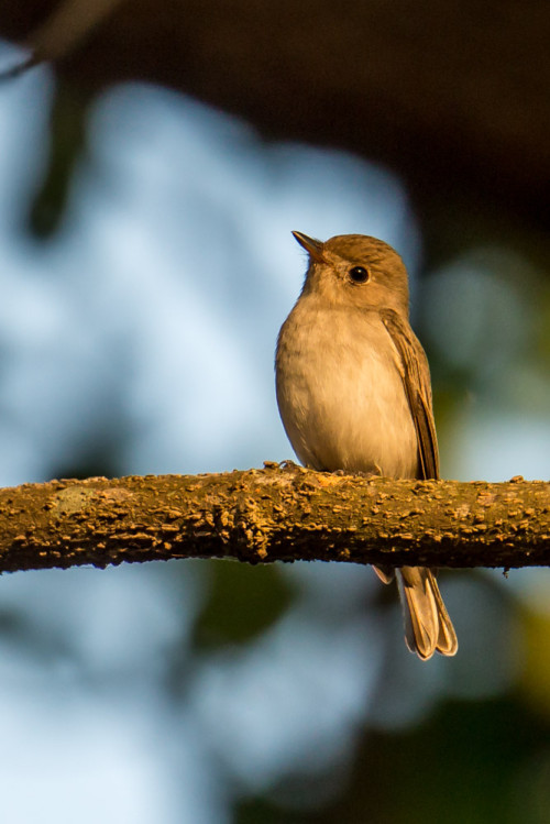 Asian Brown Flycatcher After PP