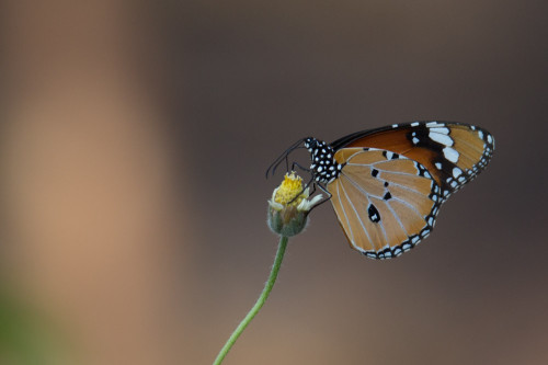 Male Plain Tiger Butterfly Before PP