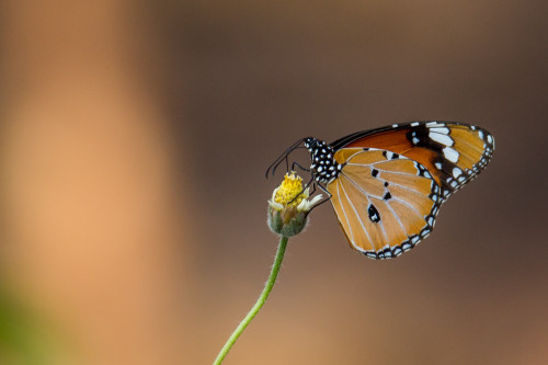 Male Plain Tiger Butterfly After PP