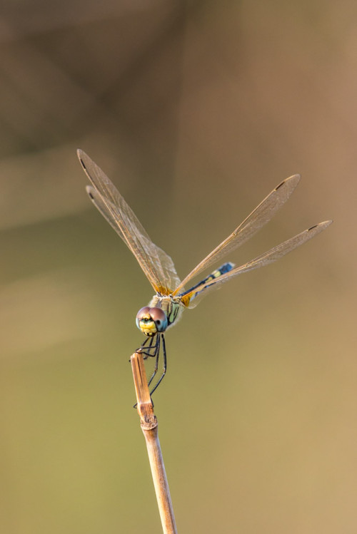 Long Legged Marsh Glider