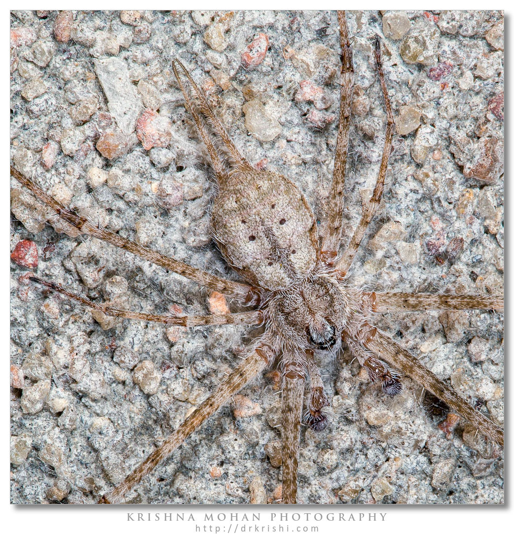 Two-Tailed Spider - Focus Stacked