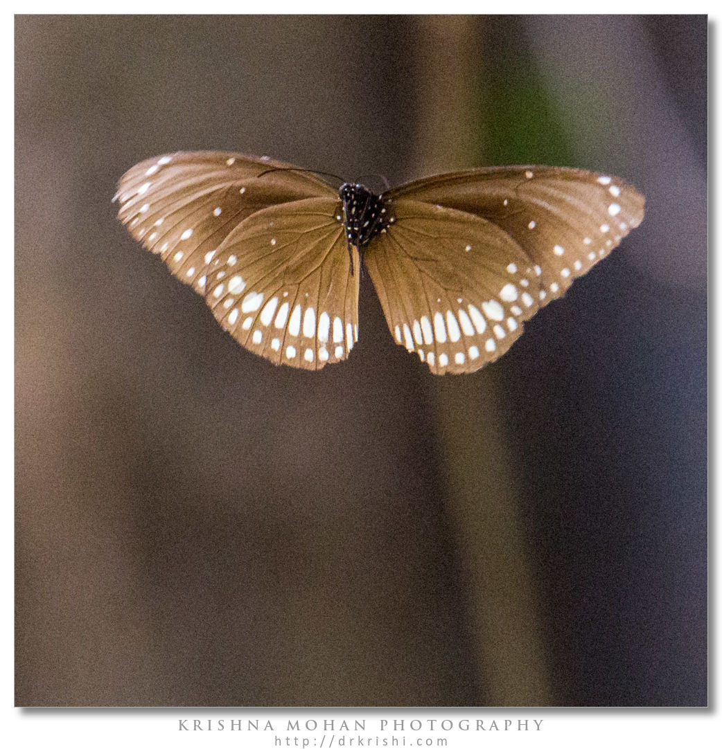 Common Crow (Euploea core) crop showing uncorrected noise