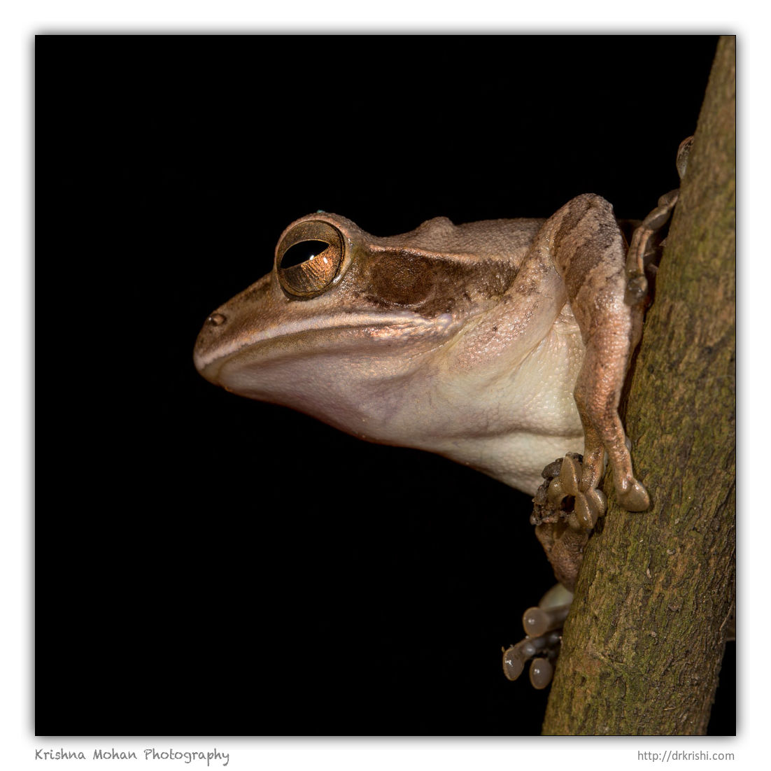 Common Indian Tree Frog
