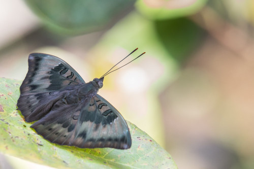 Common Baron Butterfly