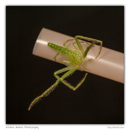 Green Crab Spider on a straw
