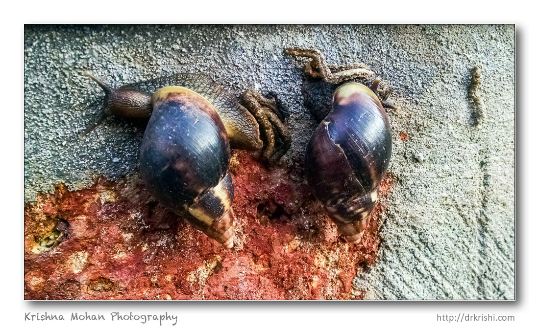 Giant African Snail in Mangalore