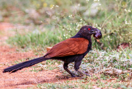 Coucal Feeding on Giant African Snail. Picture Courtesy - Abhijith APC