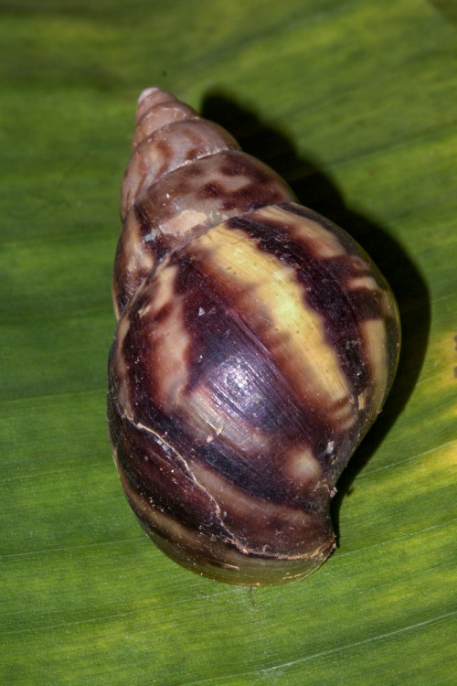 Giant African Snail in Mumbai. Picture Courtesy - Vivekanand Bhaktha