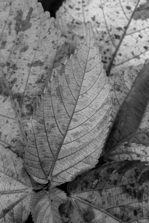 Bad example of B&W conversion of leaf
