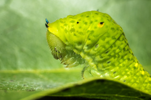 Tailed Jay Caterpillar using MPE-65