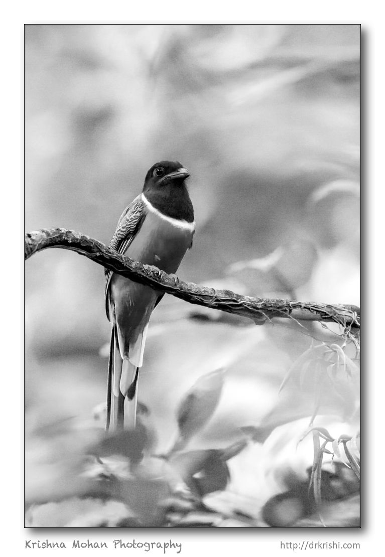 Trogon in Black & White