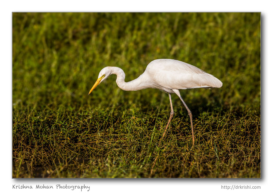 Egret after Lens Blur