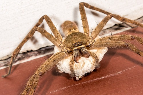 Female Huntsman Spider with Egg Sac