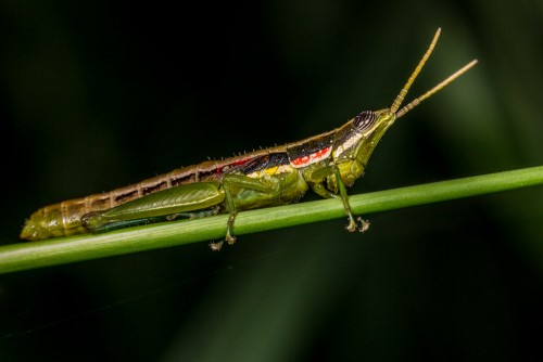 Short Horned Gaudy Grasshopper