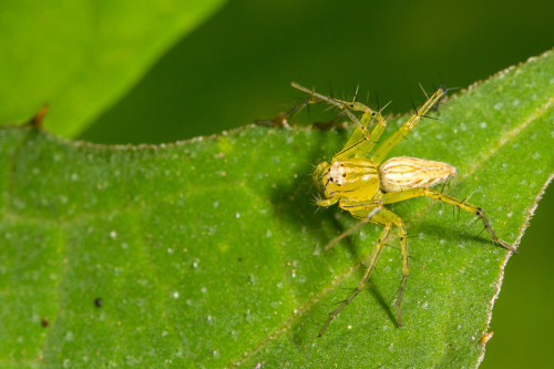 Lynx Spider - Oxyopes