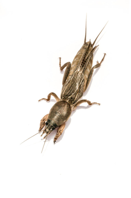 Oriental Mole Cricket