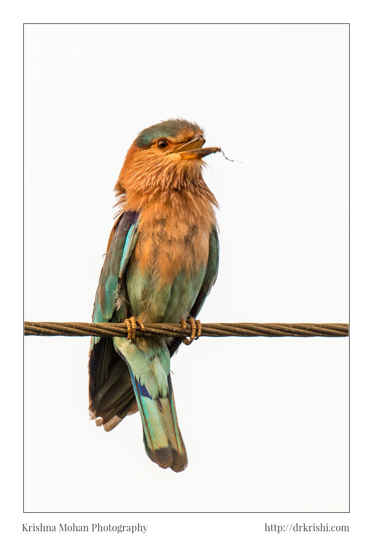 Indian Roller With Broken Beak