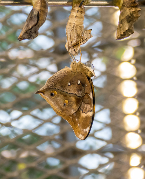 Butterfly emerging out of pupa