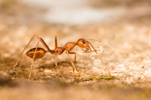 Perfectly parallel with the Weaver ant's body