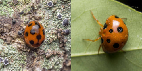 Paraplectana rajashree (right). showing resemblence to coccinellid beetle (left)