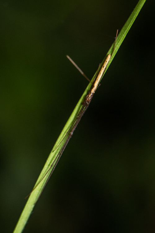 Tetragnatha Spider hiding when disturbed.