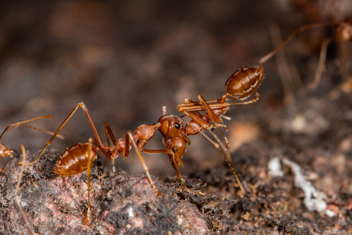 Social Carrying in Weaver Ants