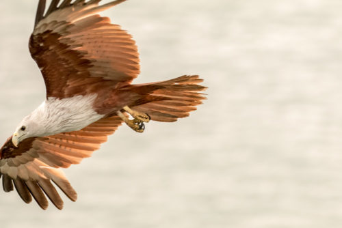 Brahminy Kite in Flight, too close to comfort