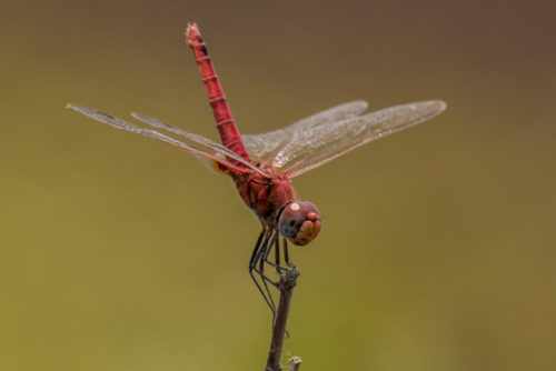 Male Crimson Marsh Glider