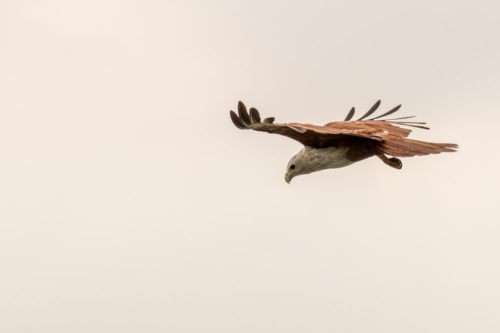 Brahminy Kite in Flight