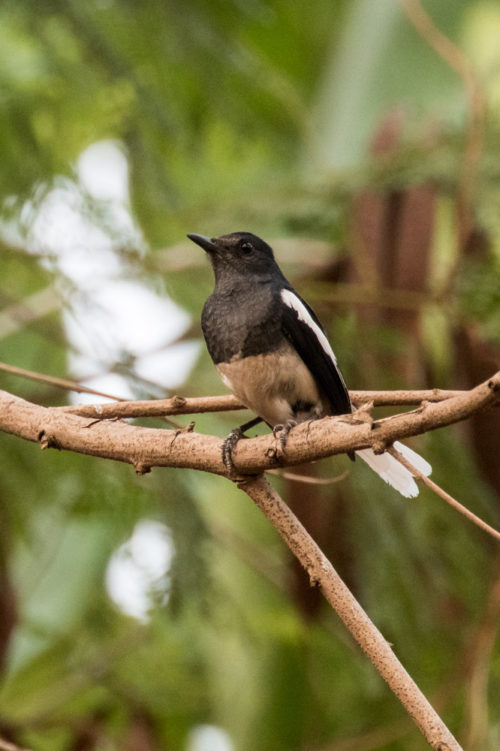 Oriental Magpie Robin with 100-400 II + 1.4x Extender