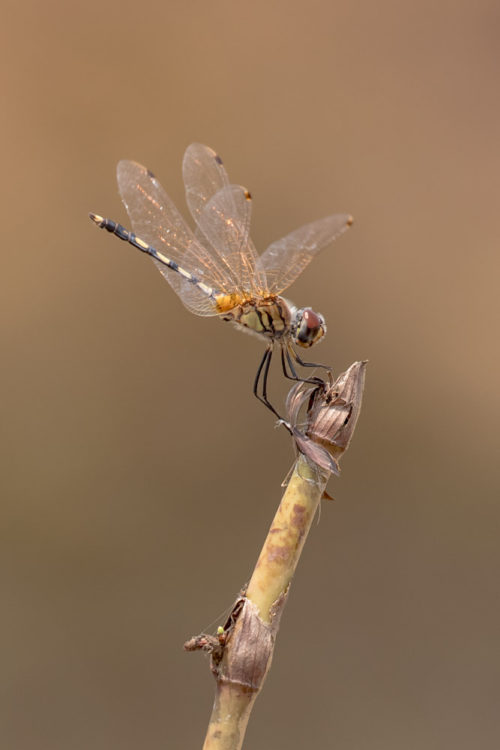 Female Crimson Marsh Glider