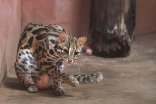 Leopard Cat in a very dark enclosure shot at ISO 6400