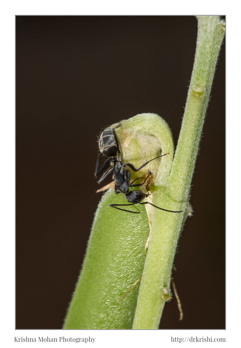Two Ants on a Rattlepod