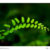 Ten Faces of Maidenhair Fern